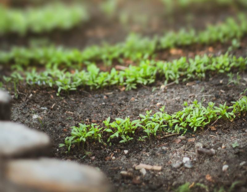 image of garden seedlings
